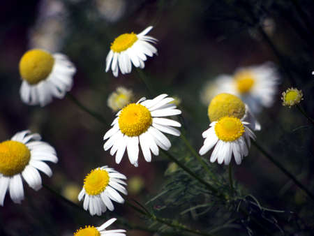 Scentless chamomile, also called False chamomile Stock Photo