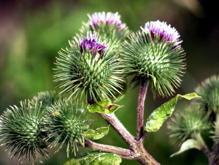 Flower heads of a burr on the wayside