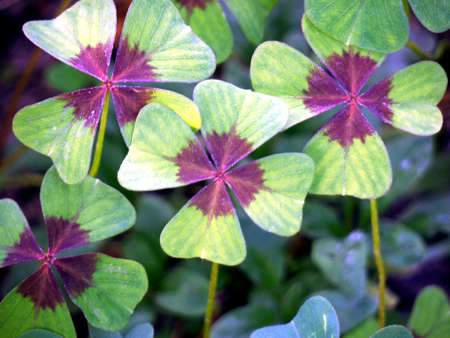 four leaf clovers: four-leaf clover - a symbol of happiness