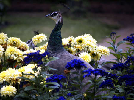 peahen: Peahen sitting in a flowerbed