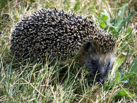 ungulates: Hedgehog in search of food in the park Stock Photo
