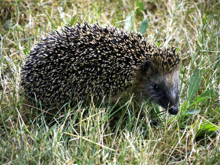 stingers: Hedgehog in search of food in the park Stock Photo