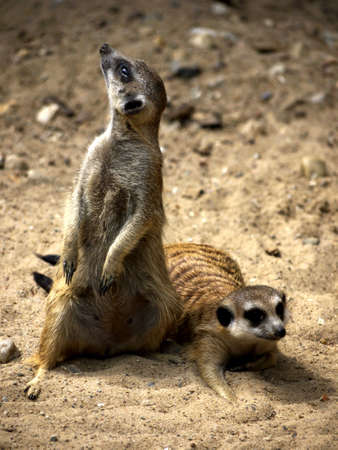 herpestidae: two meerkats  in the sand Stock Photo