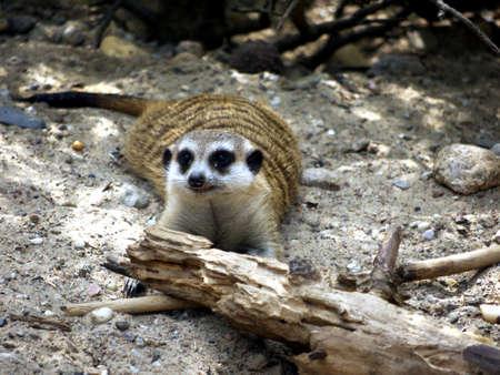 herpestidae: Meerkat lying on sandy soil with tree trunk Stock Photo