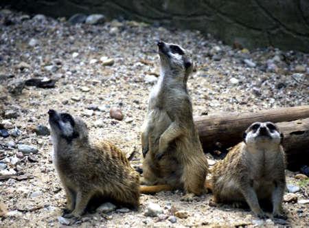 herpestidae: three meerkats look in the air