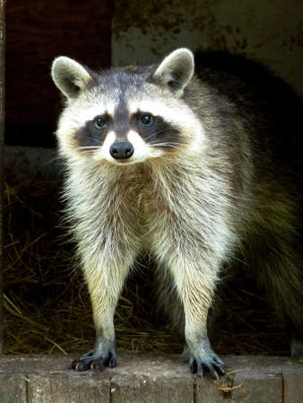Raccoon looks out of a wooden house Stock Photo
