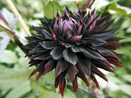 Dahlia Black Jack in the summer