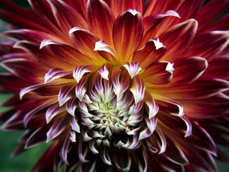 Dahlia red-white-yellow in summer