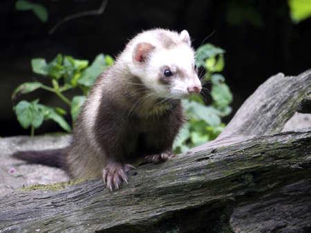 ferret on a fallen tree trunk