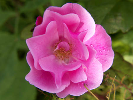 rosales: Pink flower of a rose