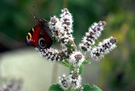 peacock butterfly: Peacock mariposa sobre una flor