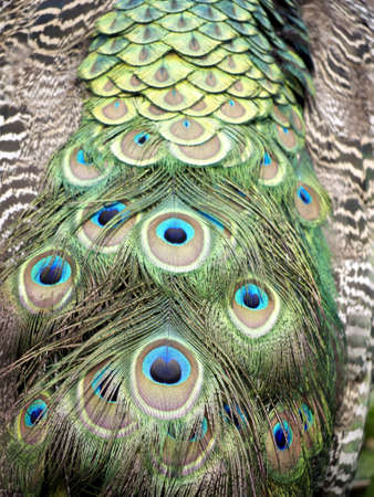 Feathers of a male peacock Stock Photo