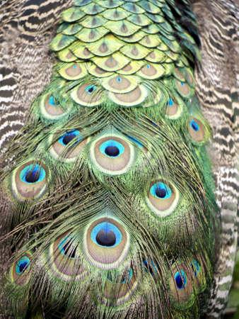 Feathers of a male peacock Archivio Fotografico