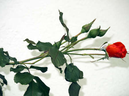 rosales: red rose in front of wall