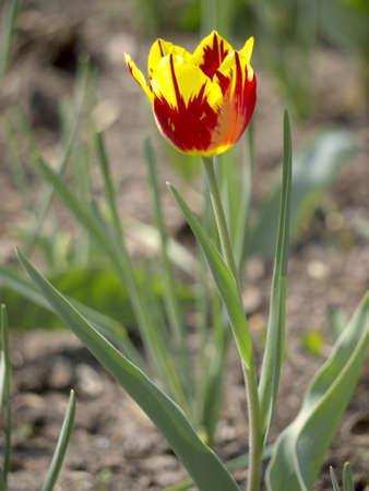 Sandy soil: Suelo arenoso de tulip�n amarillo y rojo Foto de archivo