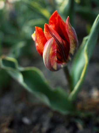 Sandy soil: Tulip�n amarillo y naranja en suelo arenoso Foto de archivo