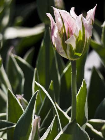 pink and white tulip Chinatown Stock Photo - 9589520