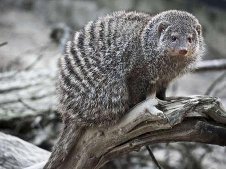 herpestidae: striped meerkats on a branch