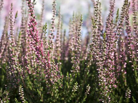 ericaceae: Heather in diversi colori in estate