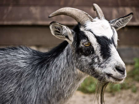 caprine: grey goat on a farm