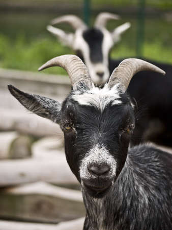 caprine: two black goats on a farm