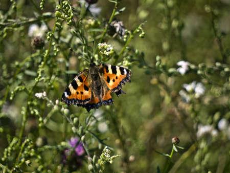 kerf: peacock butterfly on a summer meadow
