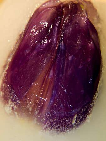 violett: open violett tulip under ice