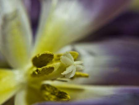 violett: stamen of a violett crocus