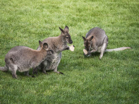 Kangaroos on a green meadow