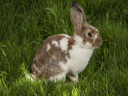 brown spotted rabbit on a meadow