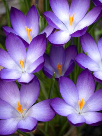 croco, un bel fiore in primavera