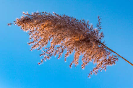 A branch of reeds against the blue sky