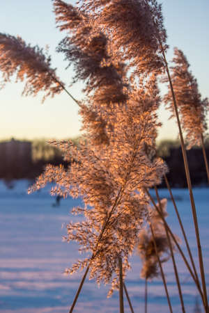 Several branches of reeds in the setting sun Stock Photo