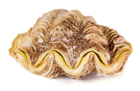 Shell clam. White background