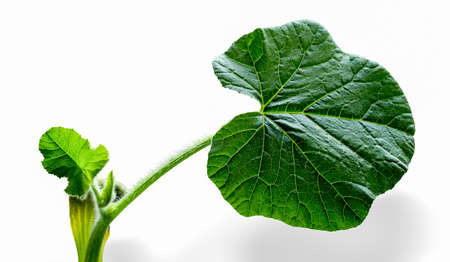 Young leaves of cucumber isolated on white background Stock Photo - 14501997