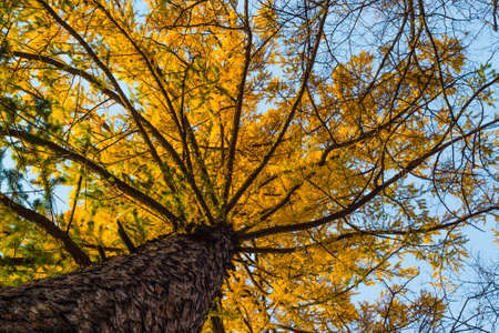 crohn: Crohn larch in autumn bright yellow against the blue sky Stock Photo