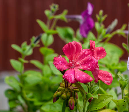 Bright Pink Geraniums in the drops of water on a blurred red background Stock Photo