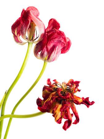 flores secas: Tulipanes ramo seco sobre un fondo blanco Foto de archivo