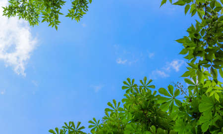 Chestnut leaves against the blue sky with white clouds Stock Photo