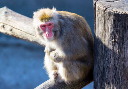 Japanese macaque sitting on a wooden log