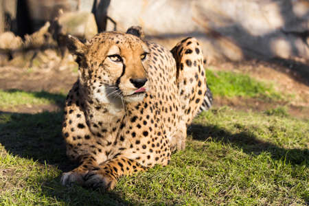 Adult Cheetah sitting on the grass Stock Photo