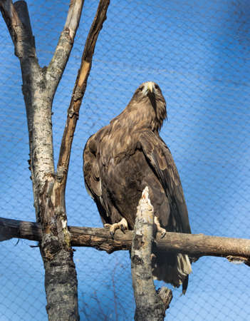 Wedge Tailed Eagle sitting on a tree against the blue sky and the cells