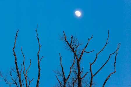 Dead trees at night with a moon