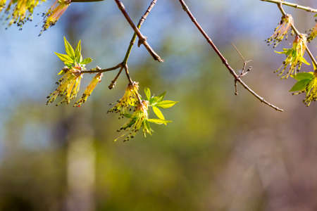 Young maple leaves and catkins taken with shallow depth of field