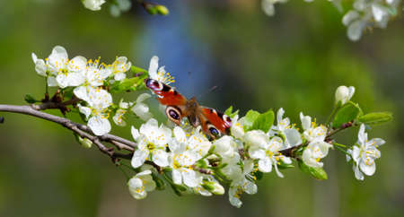 Branch of apple blossoms in spring on a sunny day and sitting butterfly on flowers