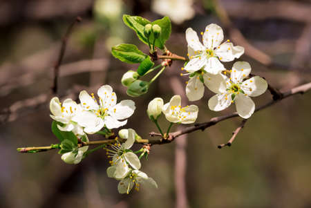Branch of apple blossoms in spring on a sunny day