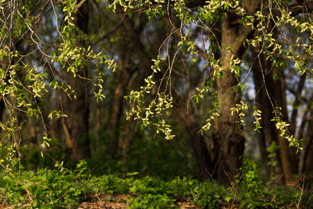 Flowering trees ash spring sunlit Stock Photo