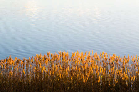 Last rays of sun on reeds in pond