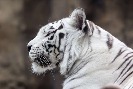 White Bengal tiger in profile  Close-up portrait Stock Photo