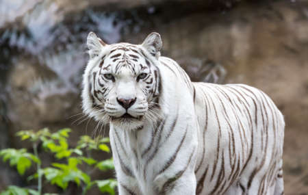 White Bengal tiger standing and looking straight